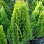 "Thuja occidentalis ""Aurea Nana"""