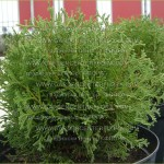 "Thuja occidentalis ""Dumosa"""