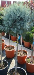 Cupressus arizonica - half stem