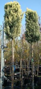 Cupressus arizonica - full stem