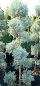 Cupressus arizonica - pon-pon