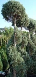 Cupressus arizonica - spiralle