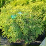 "Thuja occidentalis ""Golden Globe"""