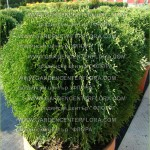 "Thuja occidentalis ""Little Giant"""