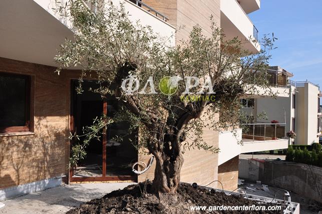 250 годишна маслина