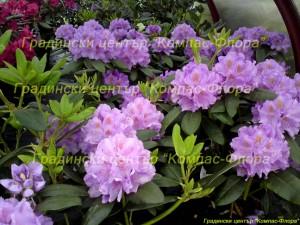 рододендрон лилав