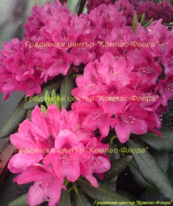 рододендрон тъмно розов