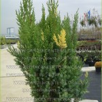 """Juniperus virg. """"Stricta variegata"""""""