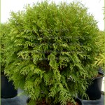 "Thuja occidentalis ""Woodwordii"""